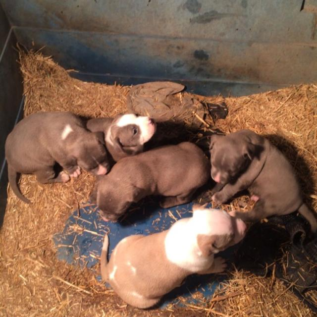 Best Full Blooded Pit Bull Puppies For Sale In Centralia Illinois