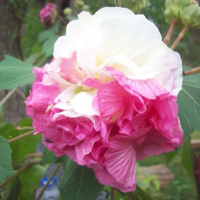 Best Hibiscus Double Confederate Rose For Sale In Galveston County