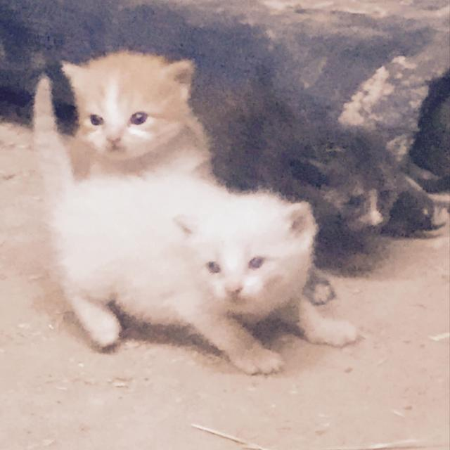 Best Free Kittens for sale in San Angelo, Texas for 2019