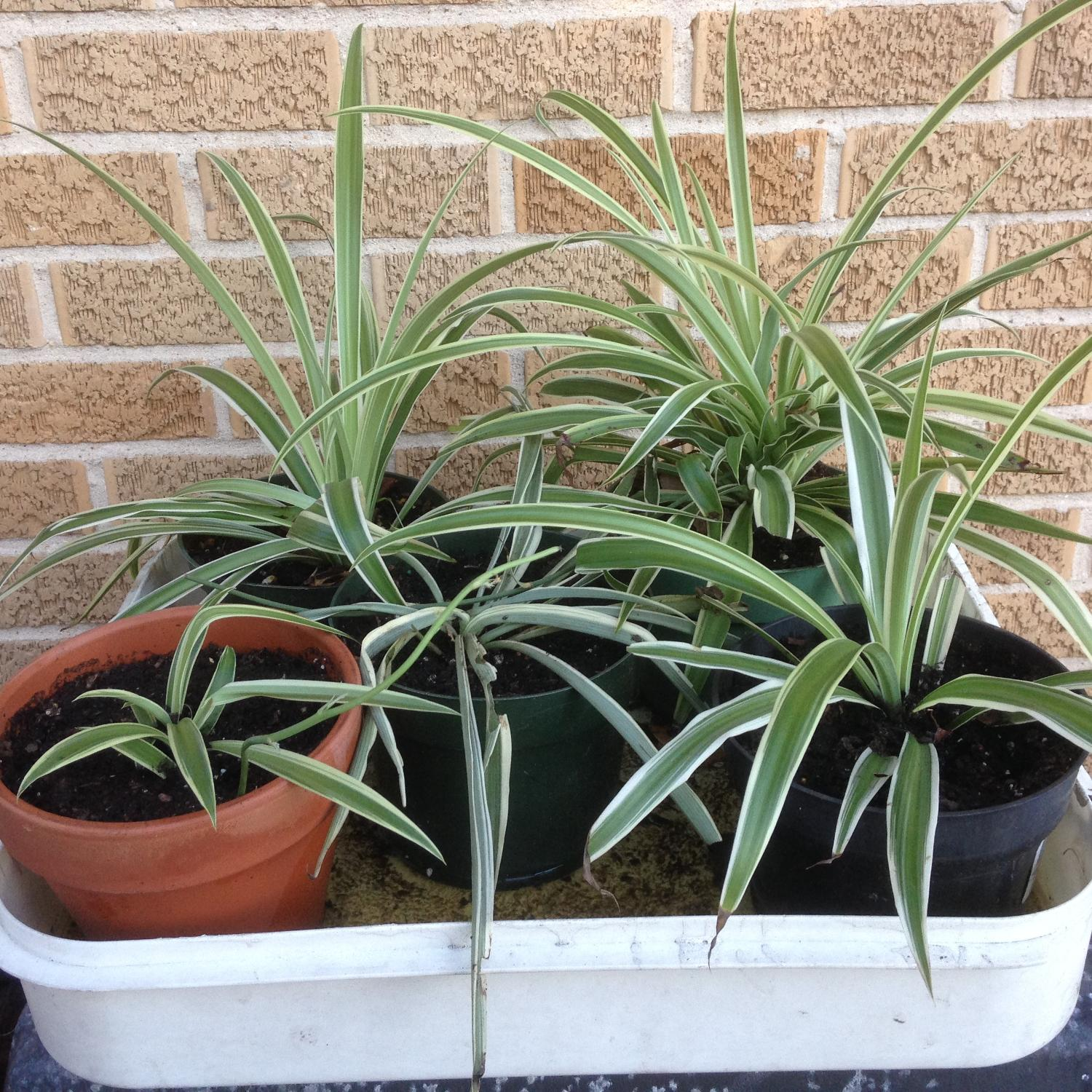 find more spider plants only each or 5 for two plants many have runners for. Black Bedroom Furniture Sets. Home Design Ideas