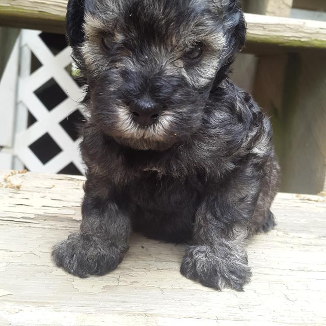 Find More Schnoodle Puppies For Sale For Sale At Up To 90 Off