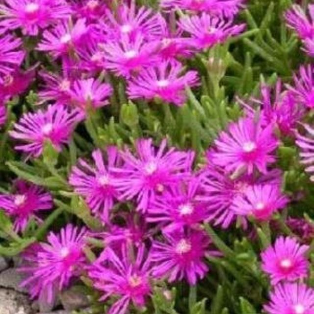 Best Hardy Ice Plant Perennial Pink Flowers For Sale In Winston