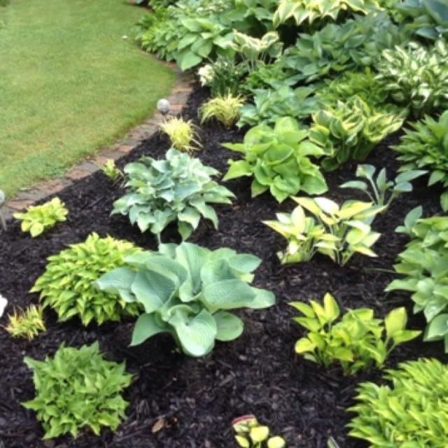 Hostas For Sale >> Best Hostas For Sale In Hanover Ontario For 2019
