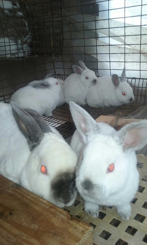 Best Mini Rex Bunny S For Sale In Medford Oregon For 2020