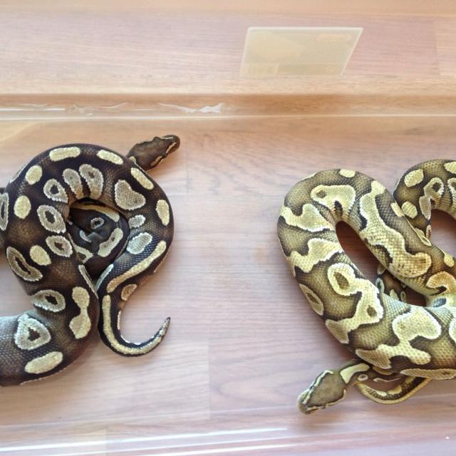 Ball Python Morphs Xposted Need Gone Today