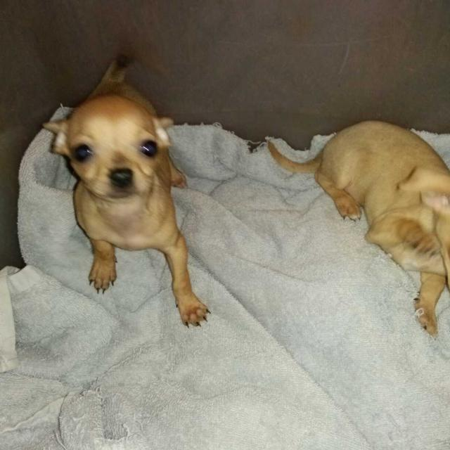 Best Chihuahua Puppies For Sale Please Call 912 332 6593 For