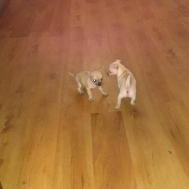 Chihuahua puppies 6week old
