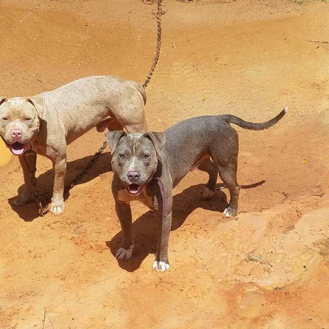 Ups Saraland Al: Best Pit Bull Puppies For Sale ( Pics Of Dad & Son) For