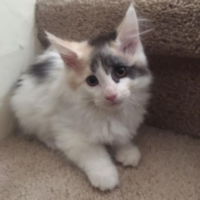Maine Coon Kittens For Sale Seattle Best Maine Coon...