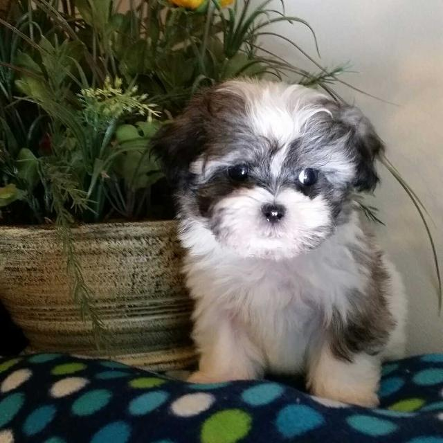 maltese shih tzu for sale best maltese and shih tzu pups for sale in bad axe 8675