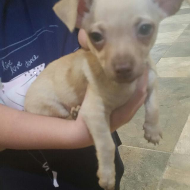 Best Full Blooded Chihuahua Puppies For Sale For Sale In Gaines