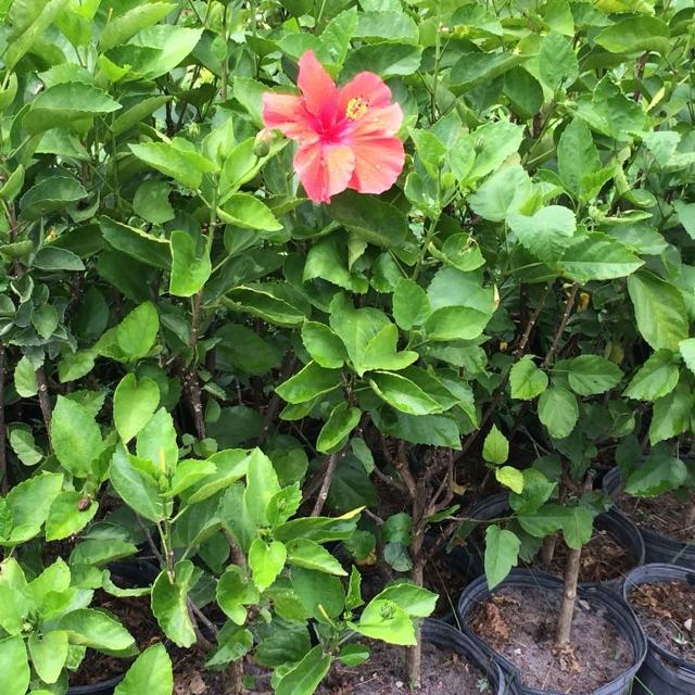 Best Beautiful Hibiscus Plants For Sale In Port Saint Lucie Florida