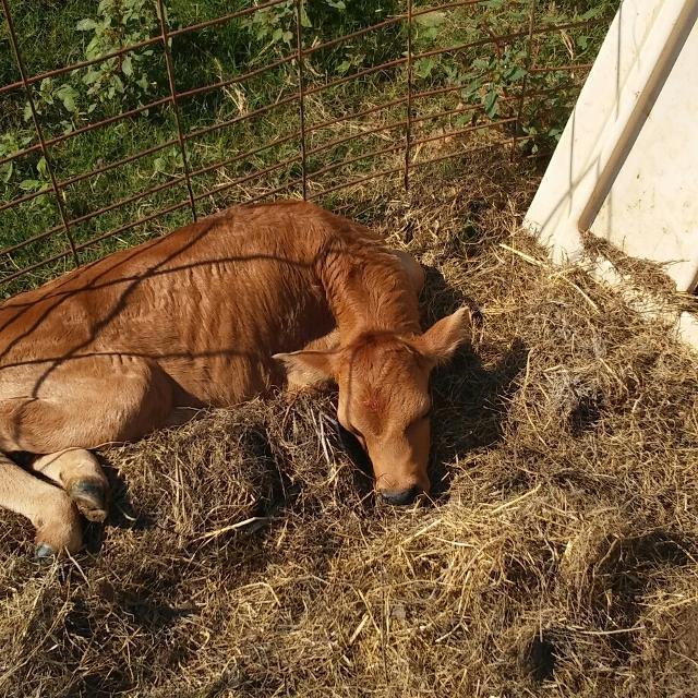 Best Bottle Fed Jersey Bull Calves For Sale In Douglas Texas For 2019
