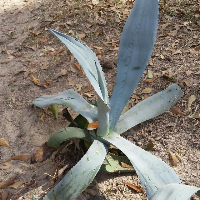 Best Plant Called Agave Cactus Type Plant For Sale In Griffin
