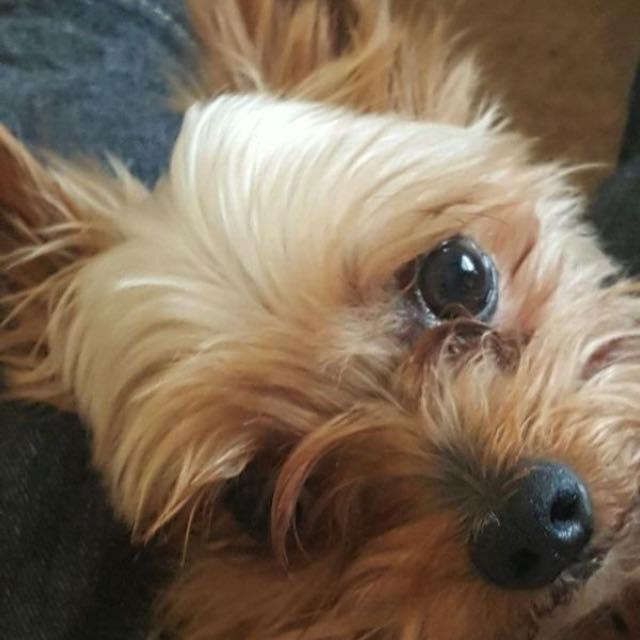 where can i buy a teacup yorkie best male teacup yorkie for sale in galveston county 8184