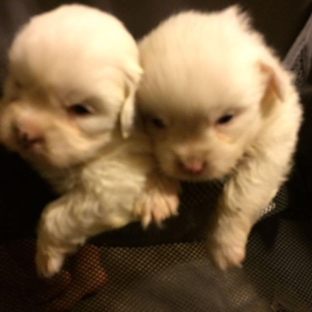 Find More 2 Male Shihtzu And Pomeranian Mix Puppies For Sale At Up
