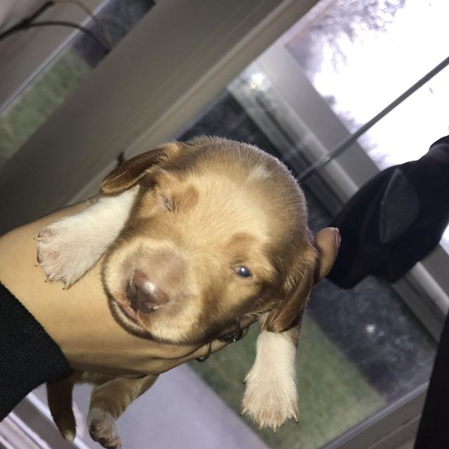 Best Miniature Dachshund Puppies For Sale In Medford Oregon For 2019