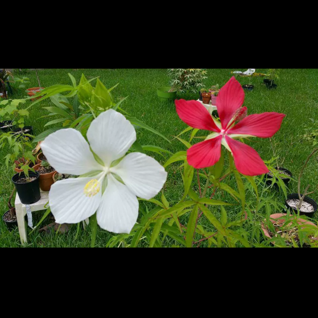 Find More Red White Texas Star Hibiscus For Sale At Up To 90 Off