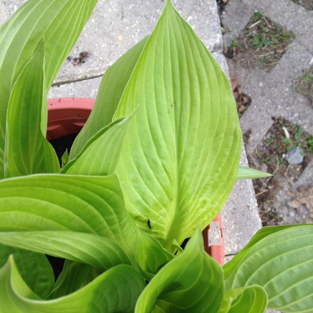 Hostas For Sale >> Best Hostas Perennial 5 Each For Sale In Newmarket Ontario For 2019