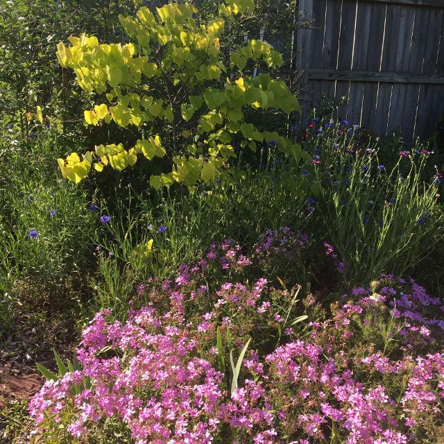 Best Woodland Phlox For Sale In Spring Hill Tennessee For 2020