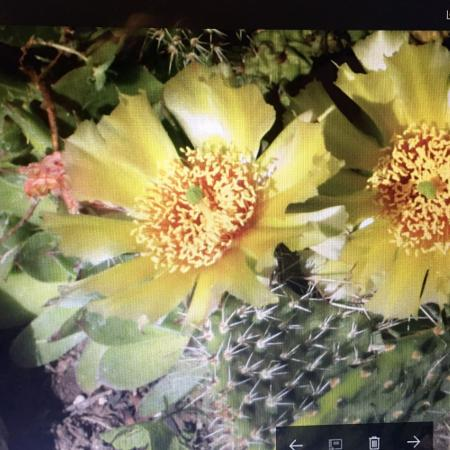 Perennial cactus (Opuntia) flowers on... for sale  Canada