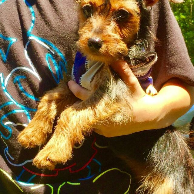 Find More Dorky Puppy Yorkiedachshund Mix For Sale At Up To 90 Off