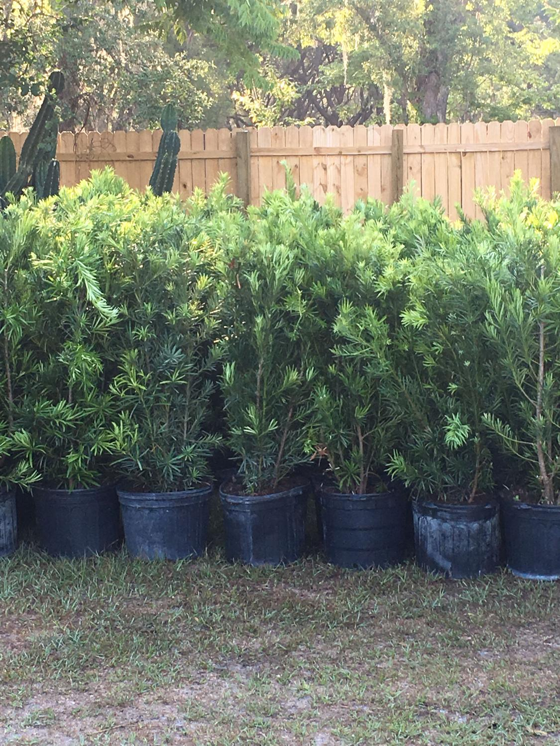 Best Podocarpus Hedge Plants For Sale In Deland Florida For 2020
